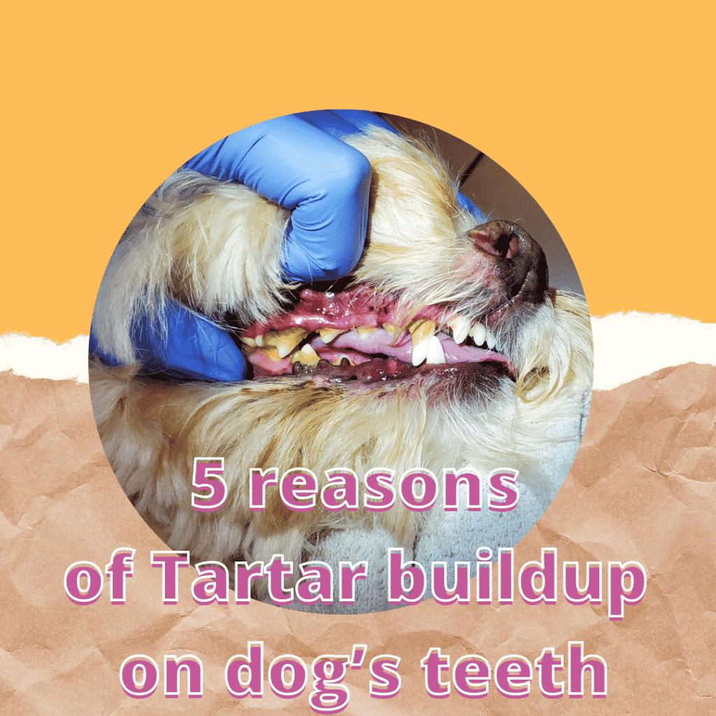 5 reasons of Tartar buildup on dog's teeth
